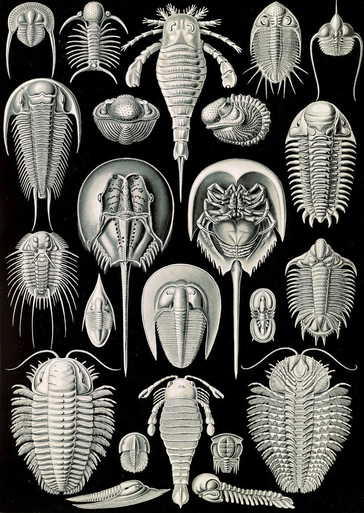 Detail of Horseshoe crabs. Aspidonia by Ernst Haeckel