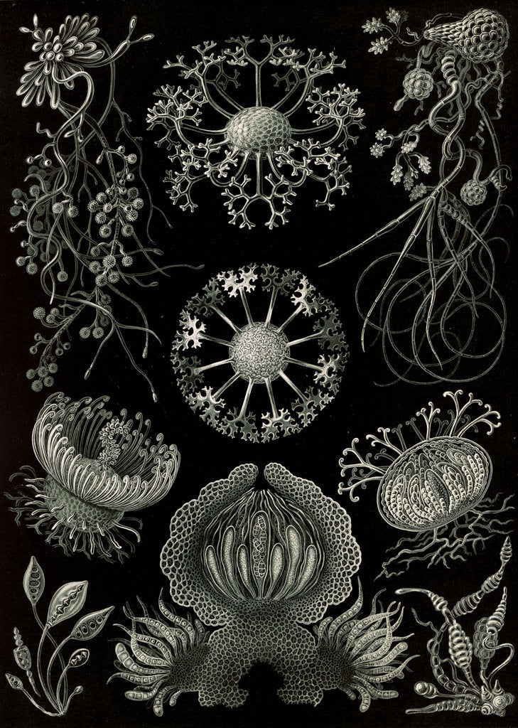 Detail of Fungi. Ascomycetes by Ernst Haeckel