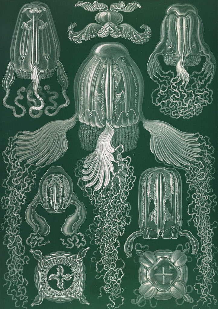 Detail of Jellyfish. Cubomedusae by Ernst Haeckel