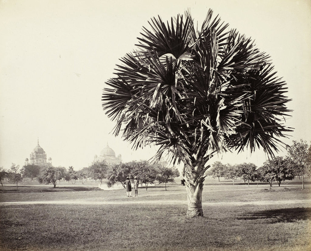 Detail of A Palm Tree Study, Lucknow, India by Samuel Bourne