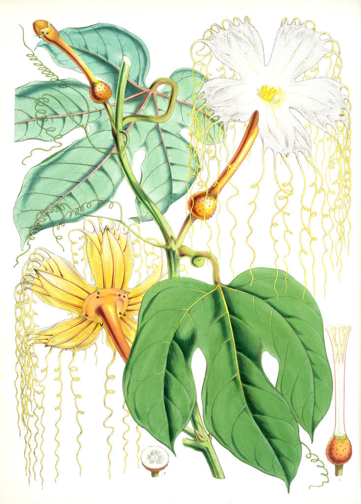 Detail of Hodgsonia Heteroclita, Hook. fil. et Thoms. (Female plant) by Walter Hood Fitch