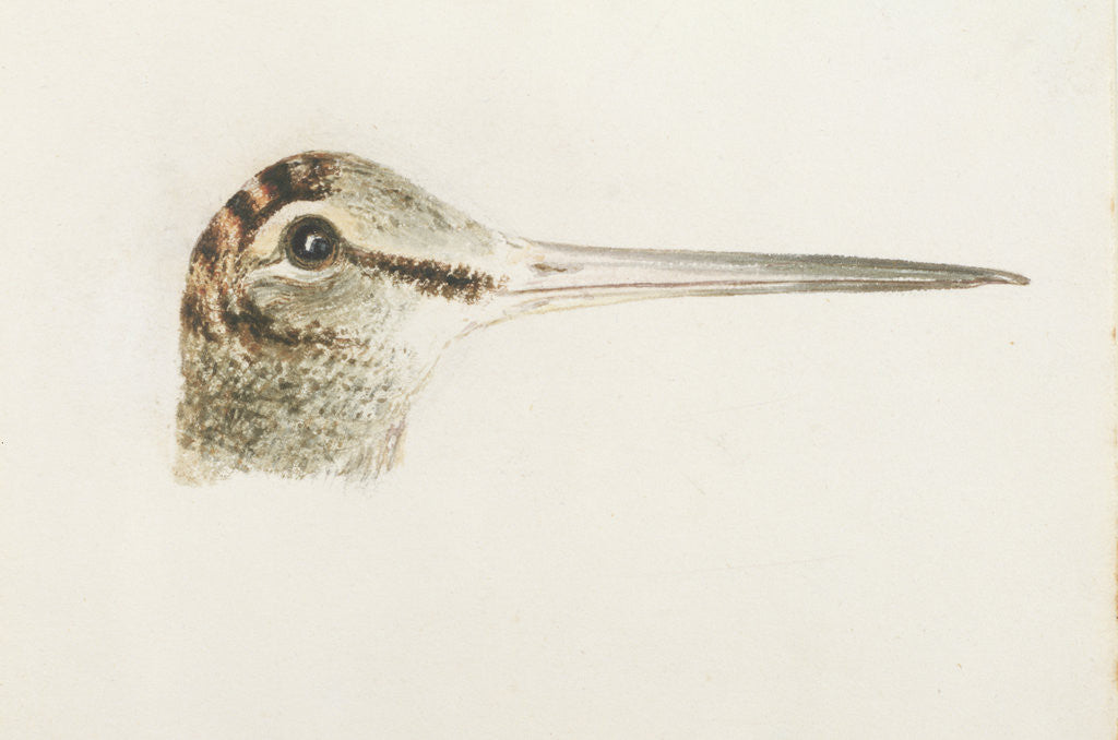Detail of Woodcock, from The Farnley Book of Birds, c.1816 by Joseph Mallord William Turner