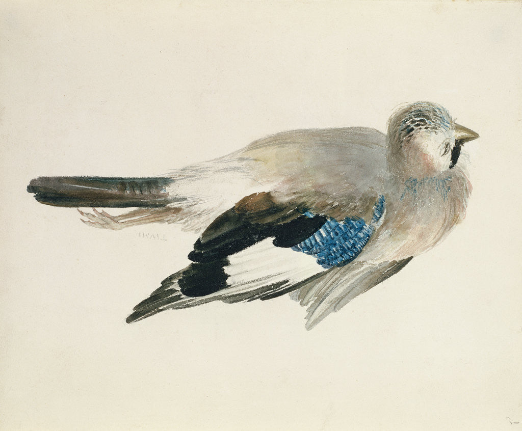 Detail of Jay, from The Farnley Book of Birds, c.1816 by Joseph Mallord William Turner
