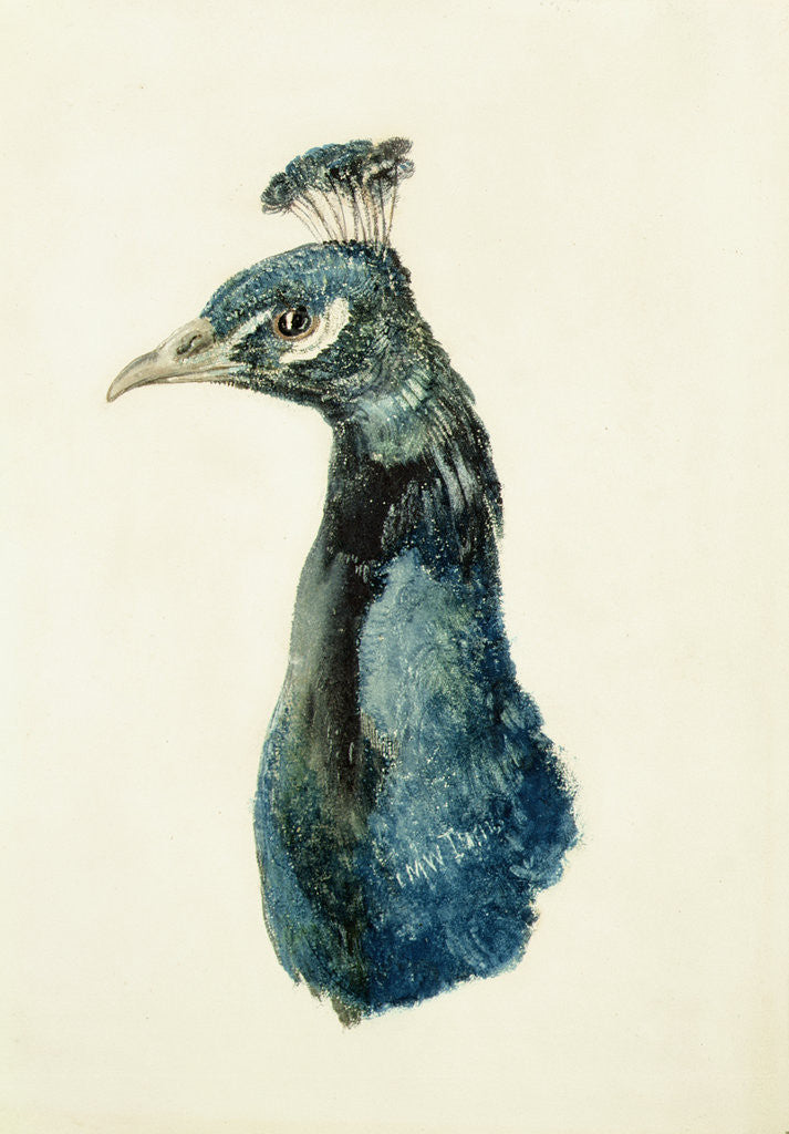 Detail of Peacock, from The Farnley Book of Birds, c.1816 by Joseph Mallord William Turner
