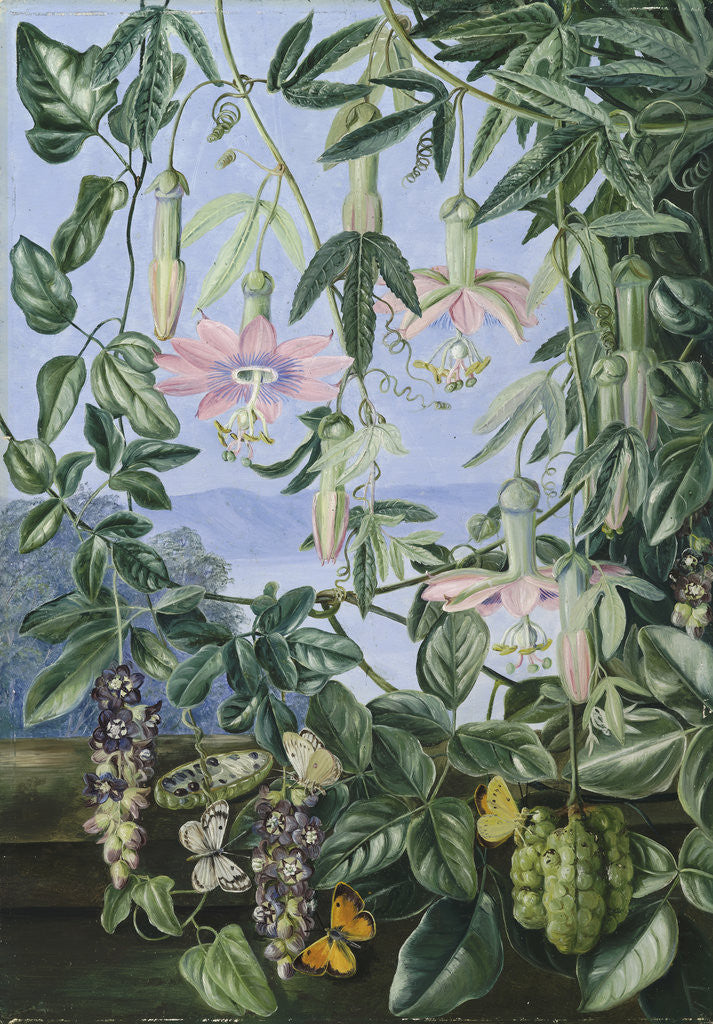 Detail of 13. Two Climbing Plants of Chili and Butterflies. by Marianne North