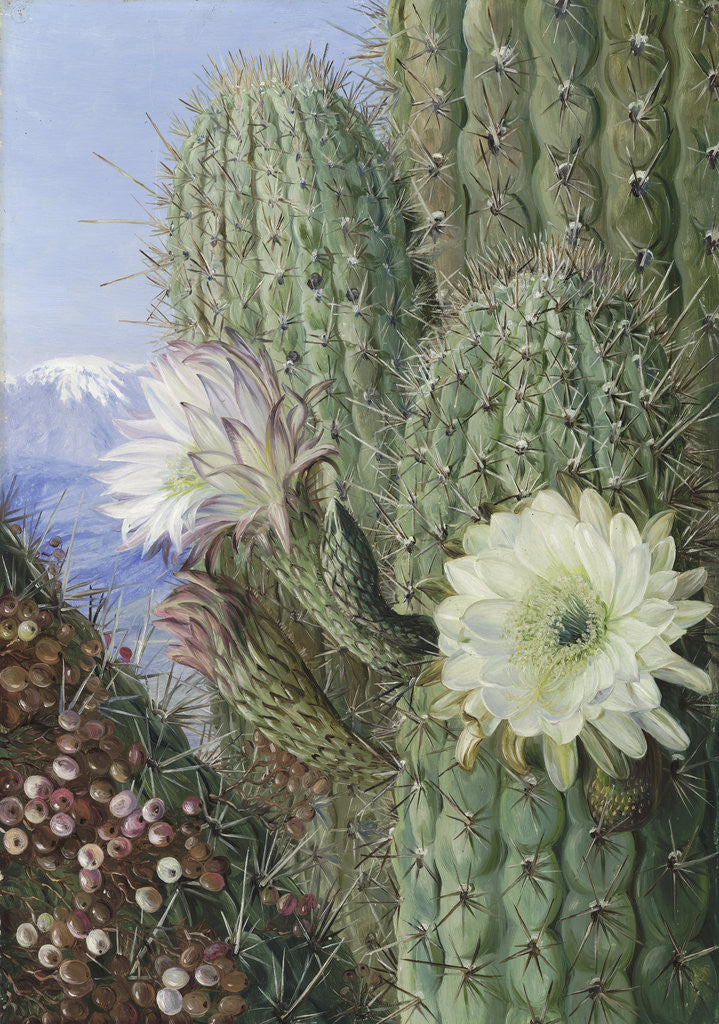 Detail of 23. A Chilian Cactus in flower and its leafless Parasite in fruit. by Marianne North