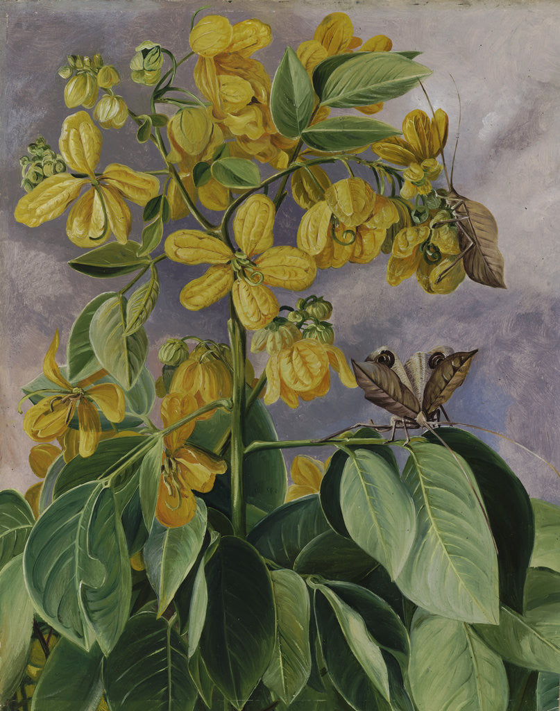 Detail of 33. Flowers of Cassia corymbosa in Minas Geraes, Brazil. by Marianne North