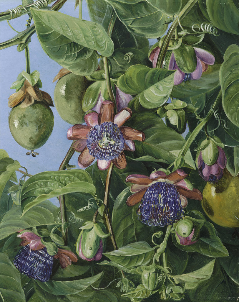 Detail of 37. Flowers and Fruit of the Maricojas Passion Flower, Brazil. by Marianne North