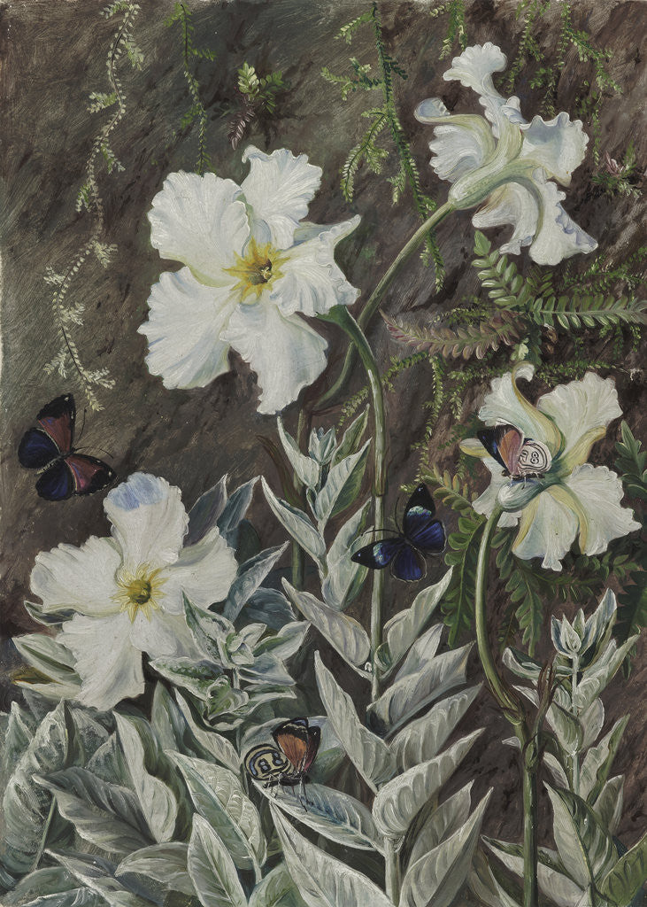 Detail of 67. Flannel Flower of Casa Branca and Butterflies, Brazil. by Marianne North