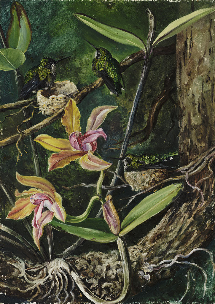 Detail of 96. Orchid and   Humming    Birds, Brazil. by Marianne North