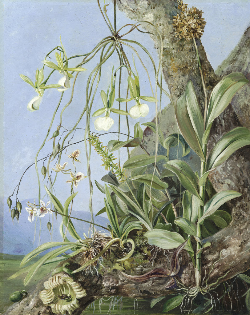 Detail of 111. Jamaica Orchids growing on a branch of the Calabash tree. by Marianne North