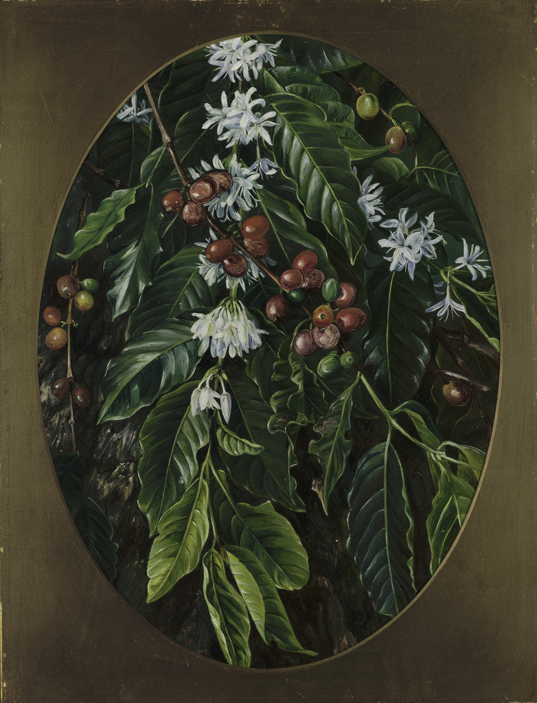Detail of 153. Foliage, flowers, and fruit of the Coffee, Jamaica. by Marianne North