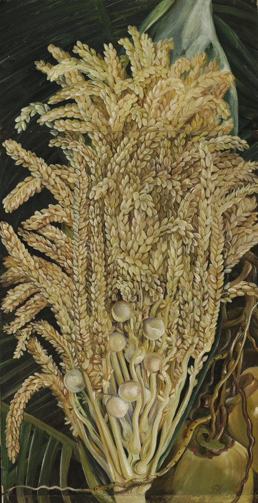 Detail of 156. Inflorescence and ripe Nuts of the Cocoanut Palm. by Marianne North