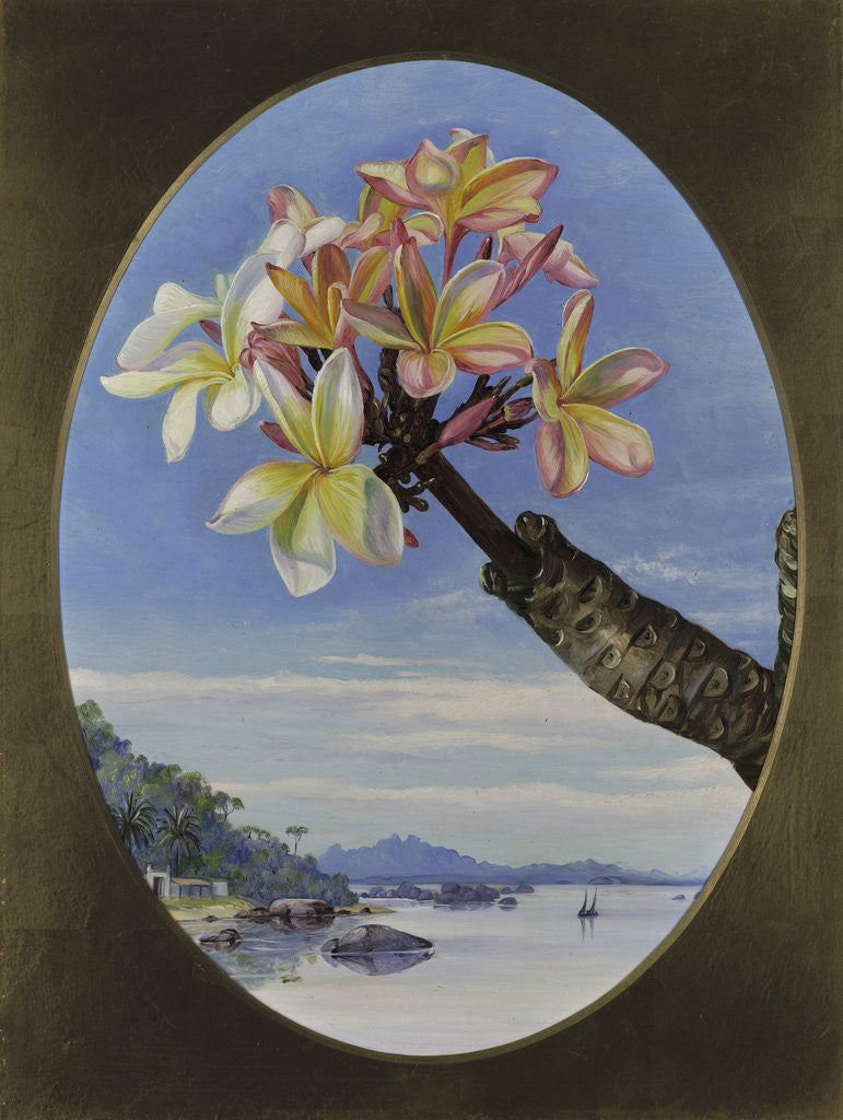 Detail of 170. Flowers of Jasmine Mango or Frangipani, Brazil. by Marianne North