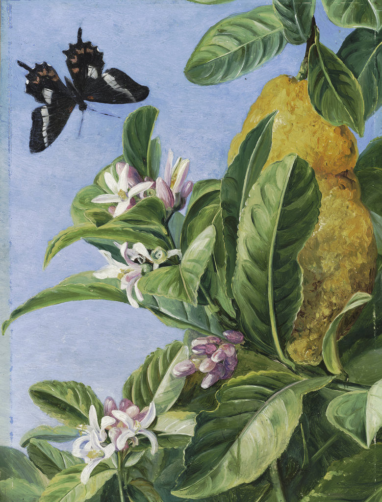 Detail of 186. Foliage, Flowers and Fruit   of the   Citron, and Butterfly; painted in Brazil. by Marianne North