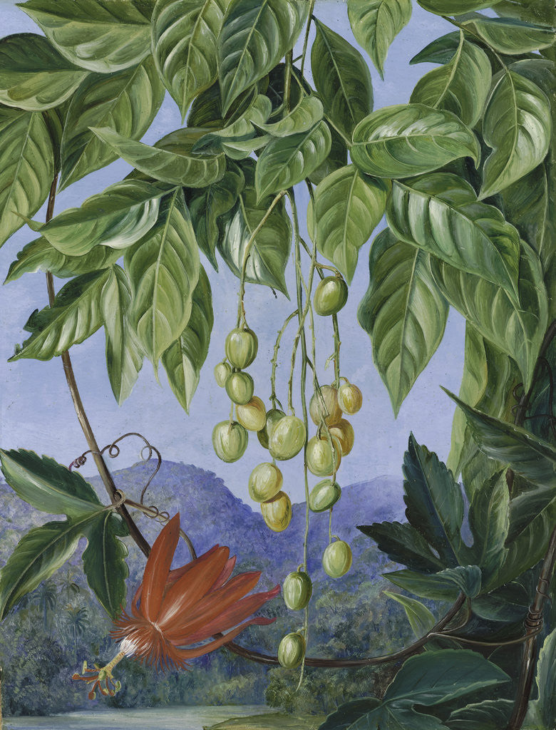 Detail of 223. Foliage and Fruit of the Wampee and American Passion Flower. by Marianne North
