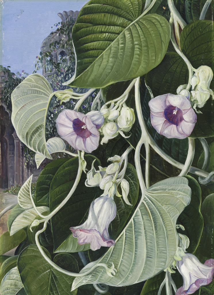 Detail of 245. The Elephant Creeper of India. by Marianne North