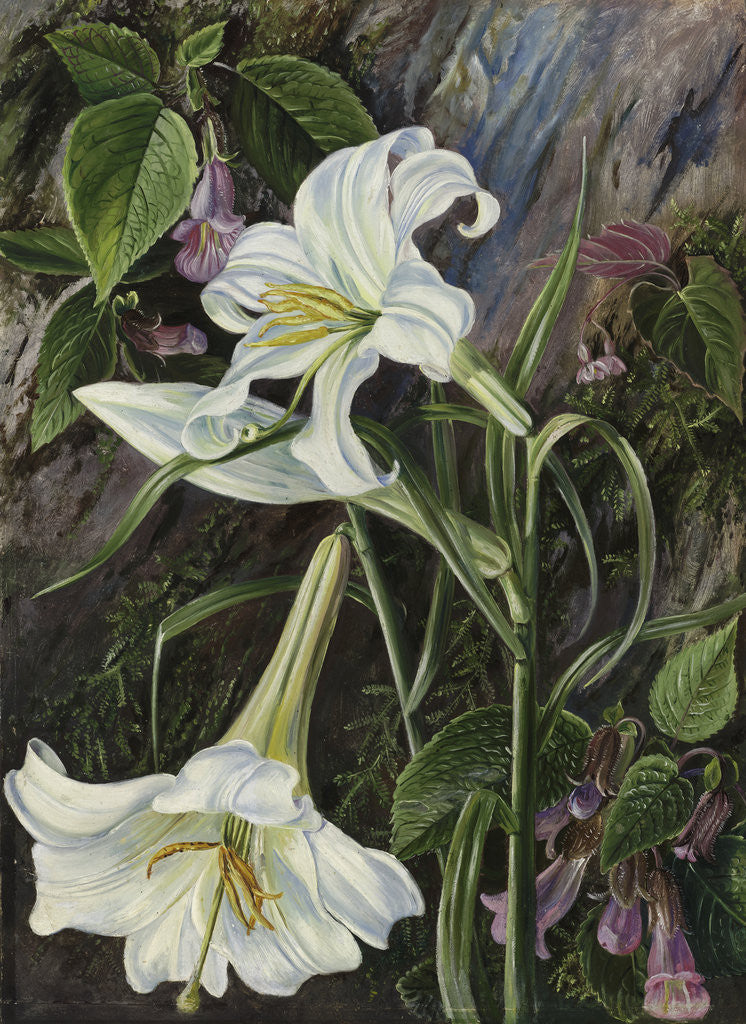 Detail of 285. The Great Lily of Nainee Tal, in North India. by Marianne North