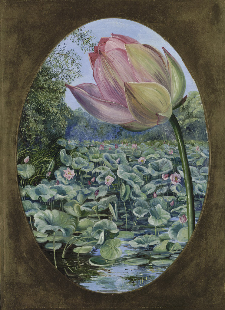 Detail of 294. The Sacred Lotus or Pudma. by Marianne North