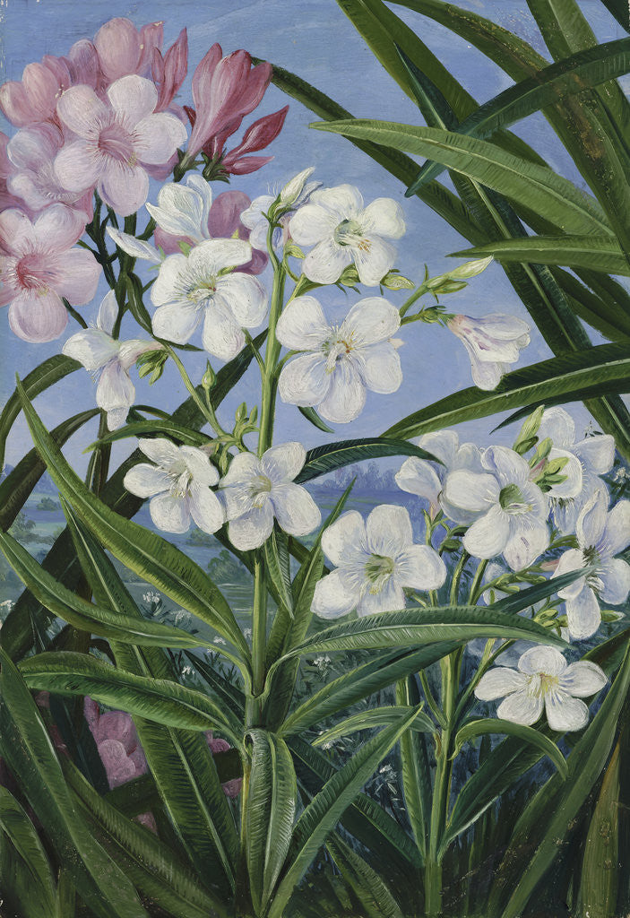 Detail of 341. The Oleander. by Marianne North