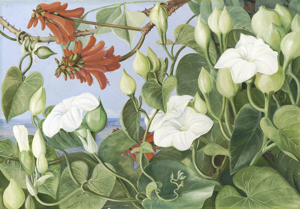 Detail of 354. White Convolvulus and Kaffirboom, painted  at Durban, Natal. by Marianne North