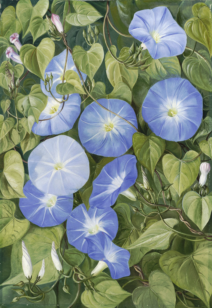 Detail of 355. Morning Glory, Natal by Marianne North