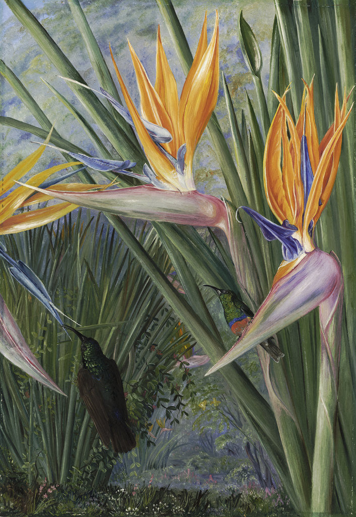 Detail of 365. Strelitzia and Sugar Birds, South Africa. by Marianne North