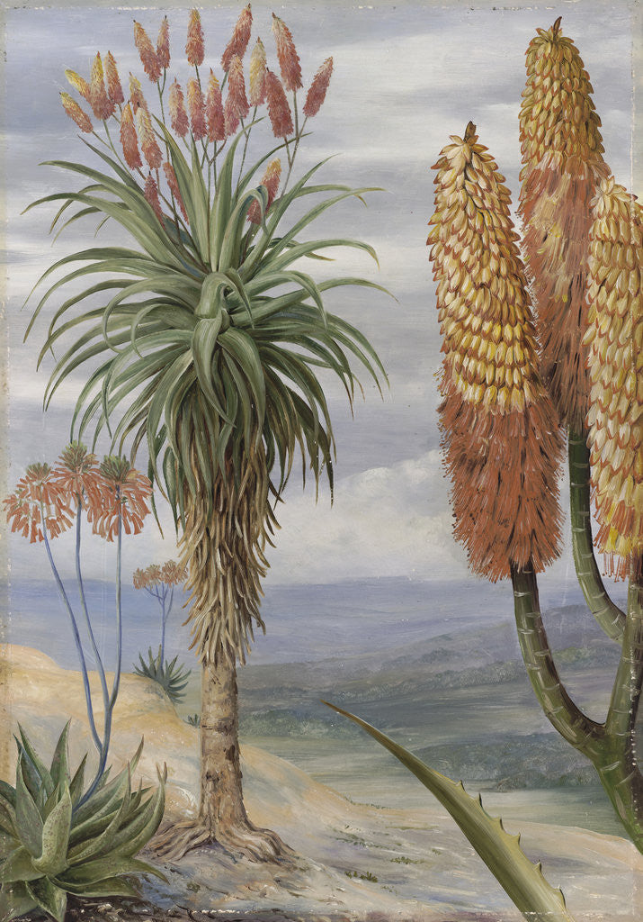 Detail of 386. Aloes at Natal. by Marianne North