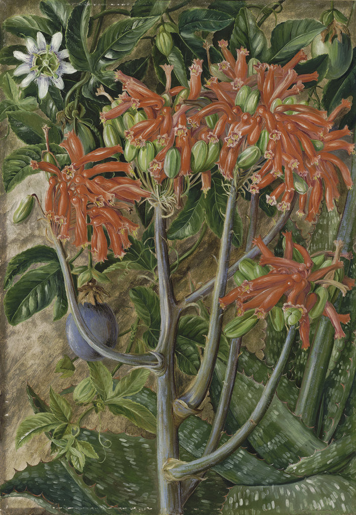 Detail of 387. Aloe and Passionflower, South Africa. by Marianne North