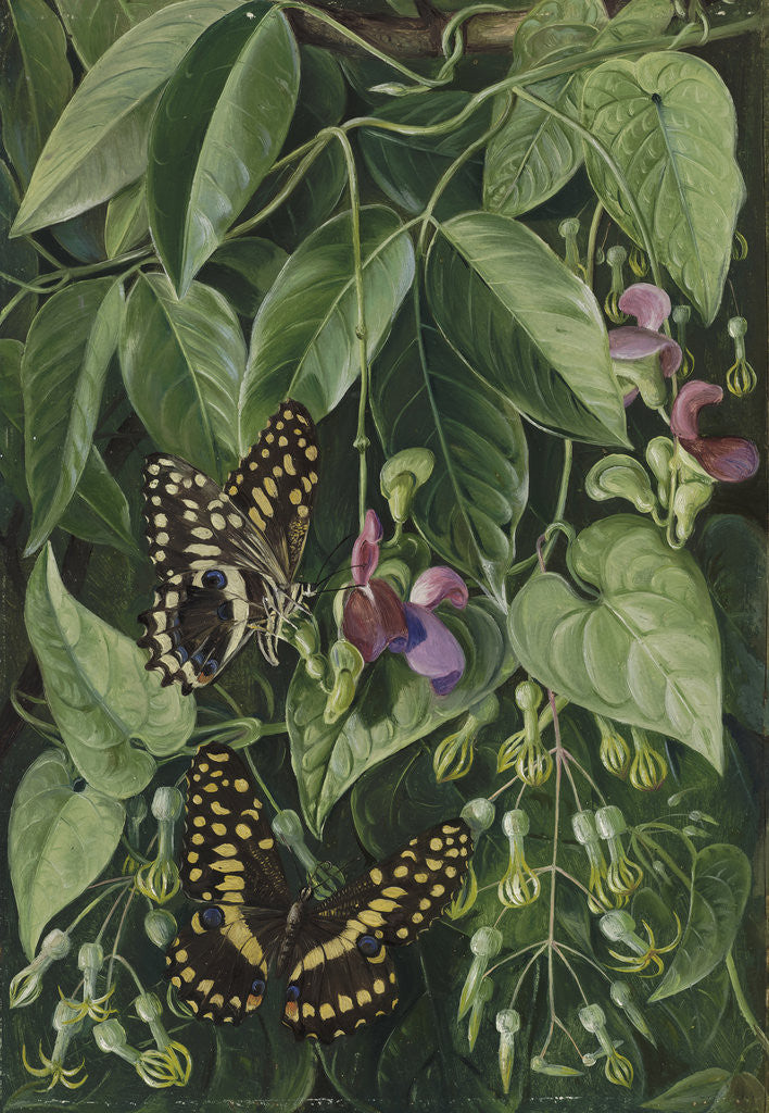 Detail of 392. Two climbing plants of St. John's, and Butterflies. by Marianne North