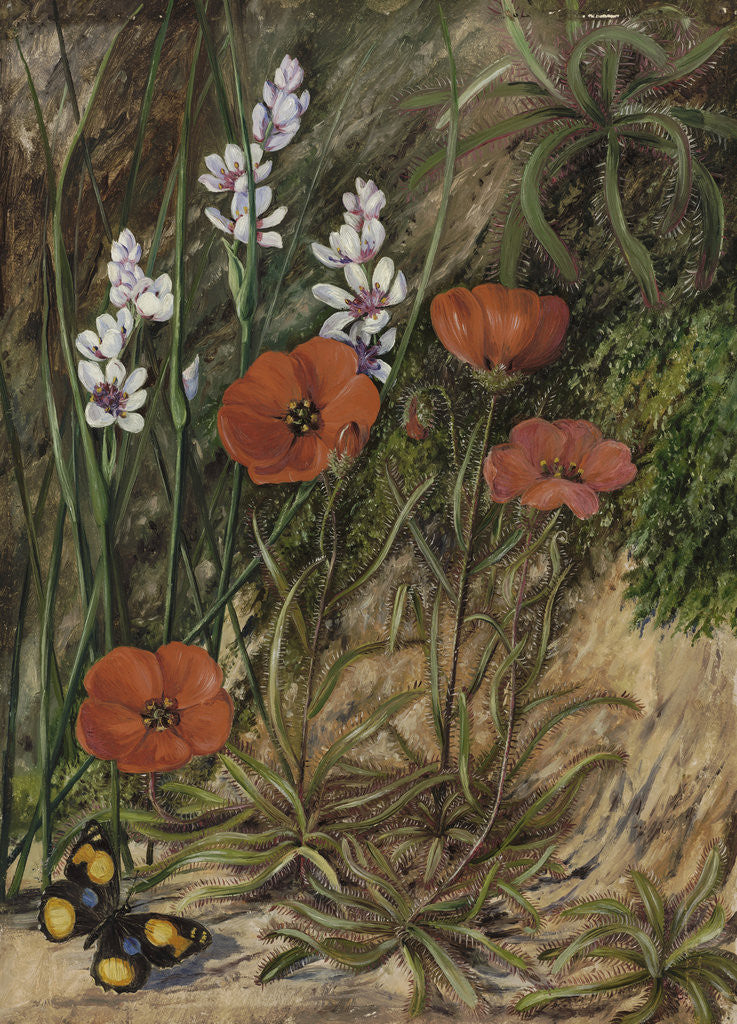 413. A South African Sundew and Associate. by Marianne North