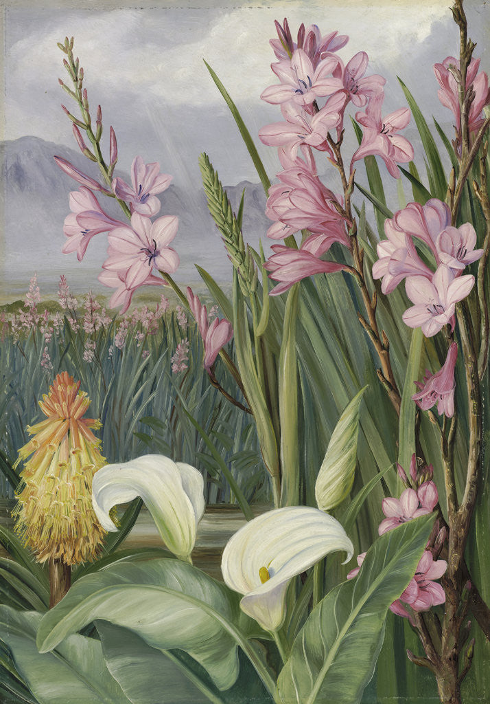 Detail of 417. Beauties of the Swamps at Tulbagh, South Africa. by Marianne North