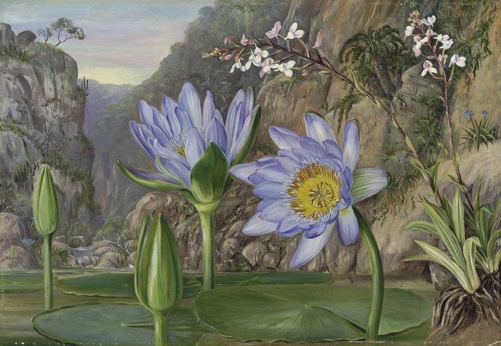 Detail of 430. Water-Lily and surrounding vegetation in Van Staaden's Kloof. by Marianne North