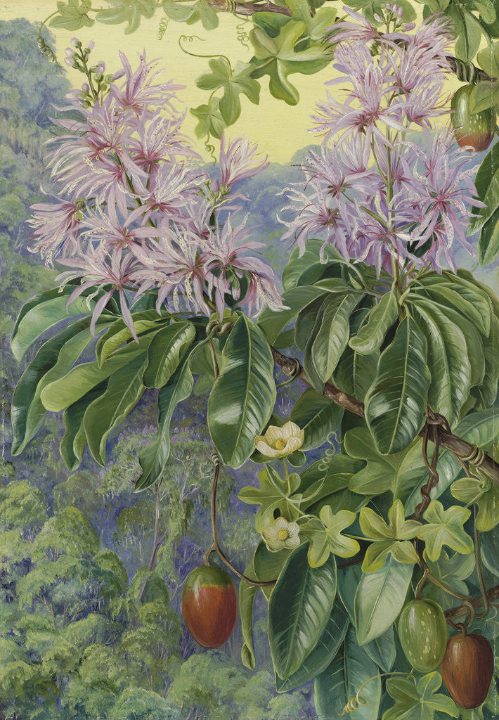 Detail of 457. Wild Chestnut and Climbing Plant of South Africa. by Marianne North
