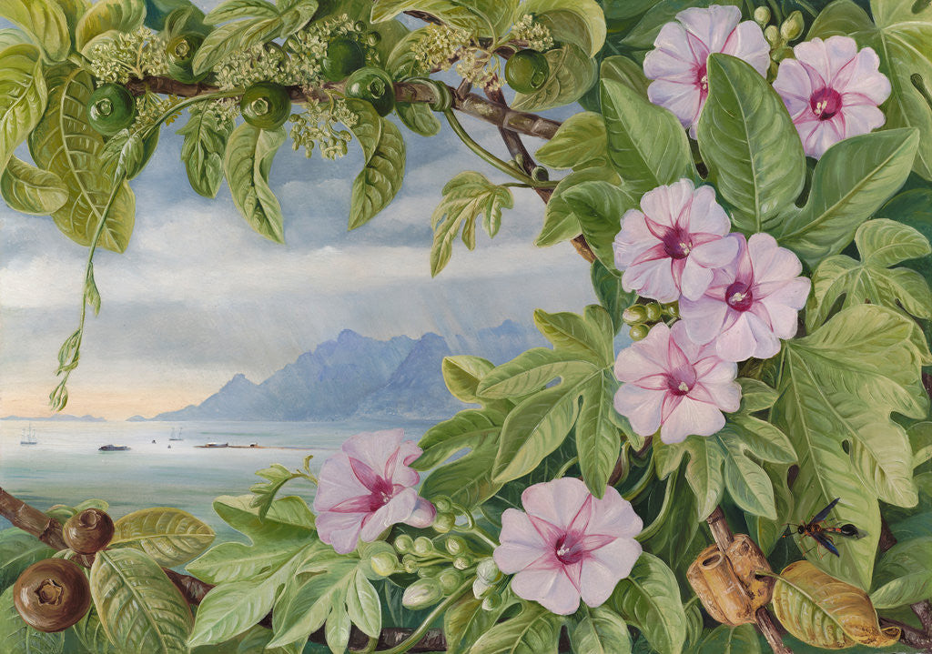 Detail of 460. Ipomoea and Vavangue with Mahe  Harbour in the distance. by Marianne North