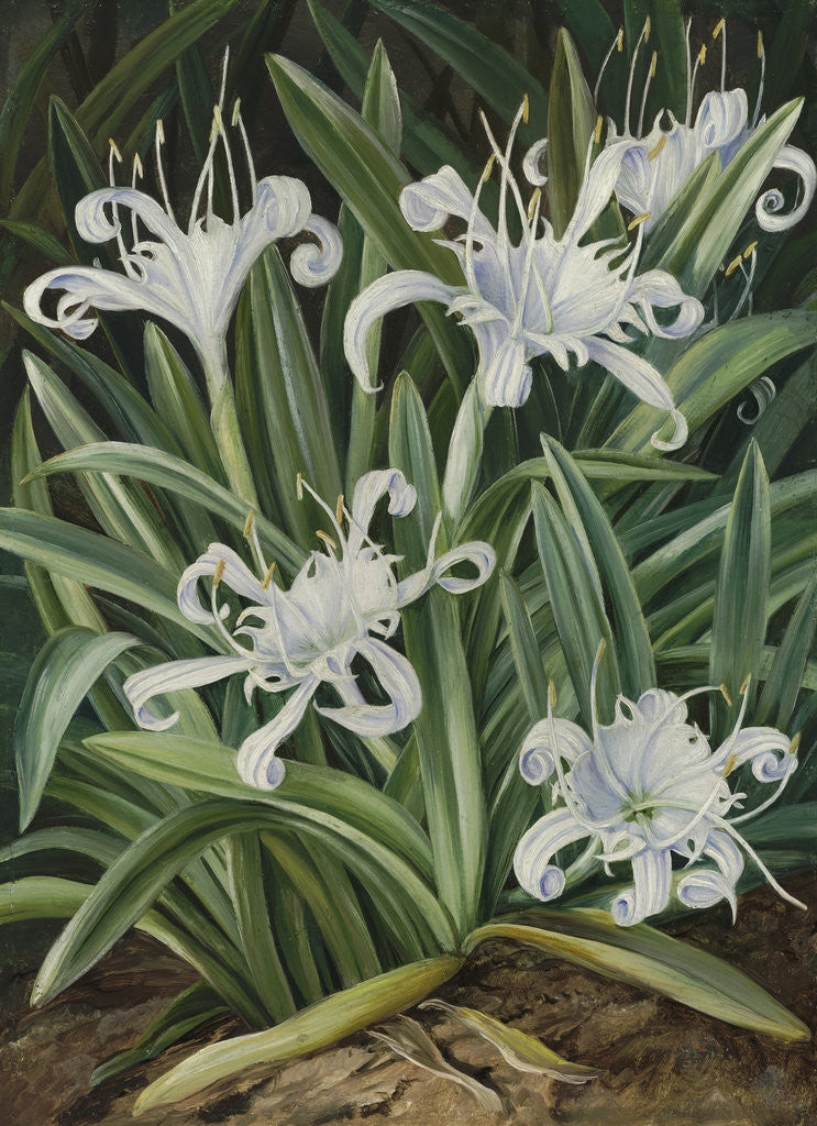 Detail of 463. An Asiatic Pancratium, colonised in the Seychelles. by Marianne North