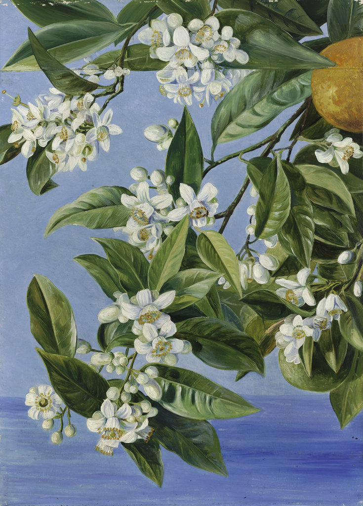 Detail of 520. Orange Flowers and Fruits, painted in Teneriffe. by Marianne North