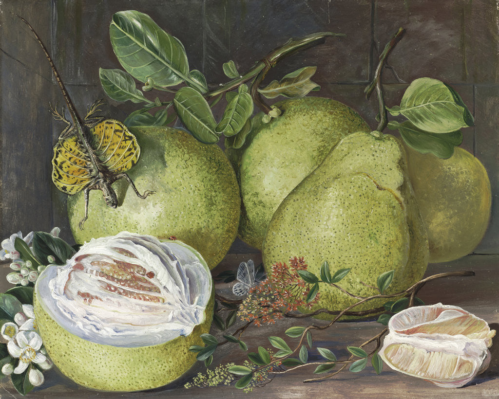 Detail of 552. Flowers and Fruit of the Pomelo, a branch of Hennah, and Flying Lizard, Sarawak. by Marianne North