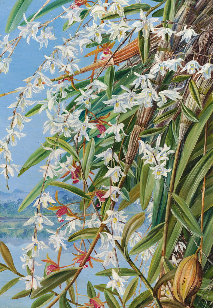 Detail of 614. The Turong, or Pigeon Orchid in Borneo, and a purple-brown Cymbidium by Marianne North
