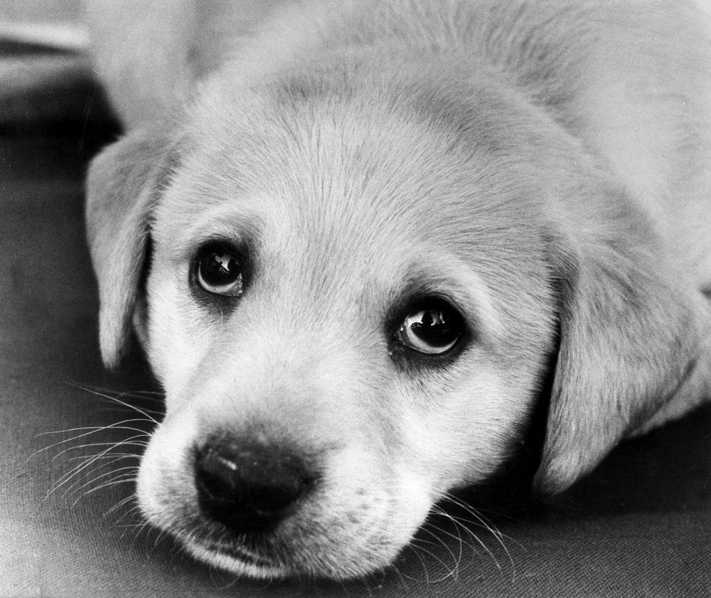 Detail of A labrador puppy looks at the camera by Freddie Reed