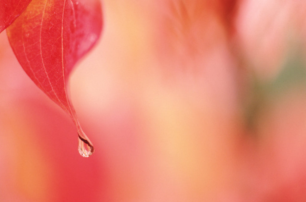 Detail of Dewdrop in the fall by Corbis