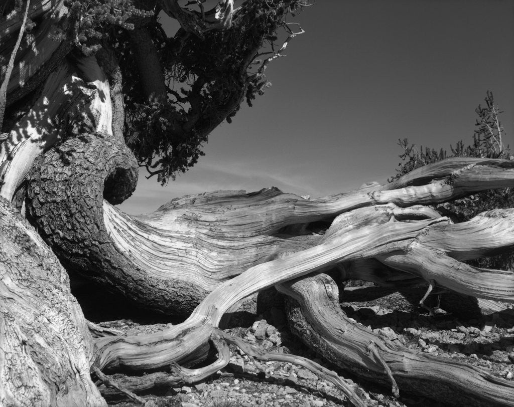 Detail of Bristlecone Pine Tree by Corbis