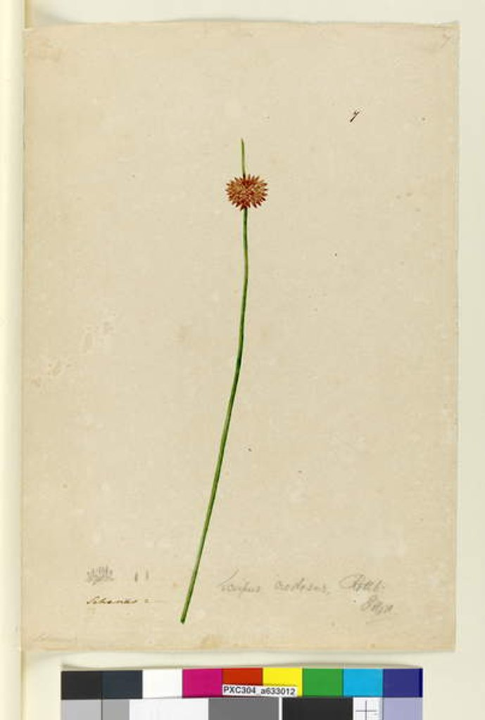 Detail of Page 7. Scirpus nodosus, c.1803-06 by John William Lewin