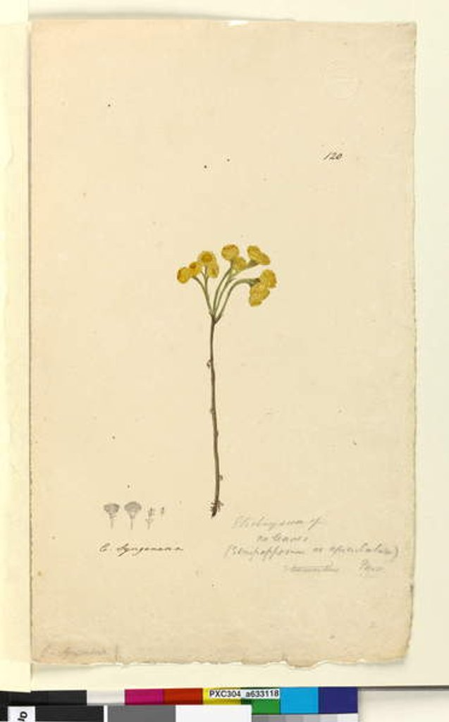 Detail of Page 120. Elichrysum, c.1803-06 by John William Lewin