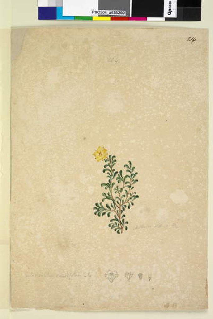 Detail of Page 214. Hibbertia diffusa, c.1803-06 by John William Lewin