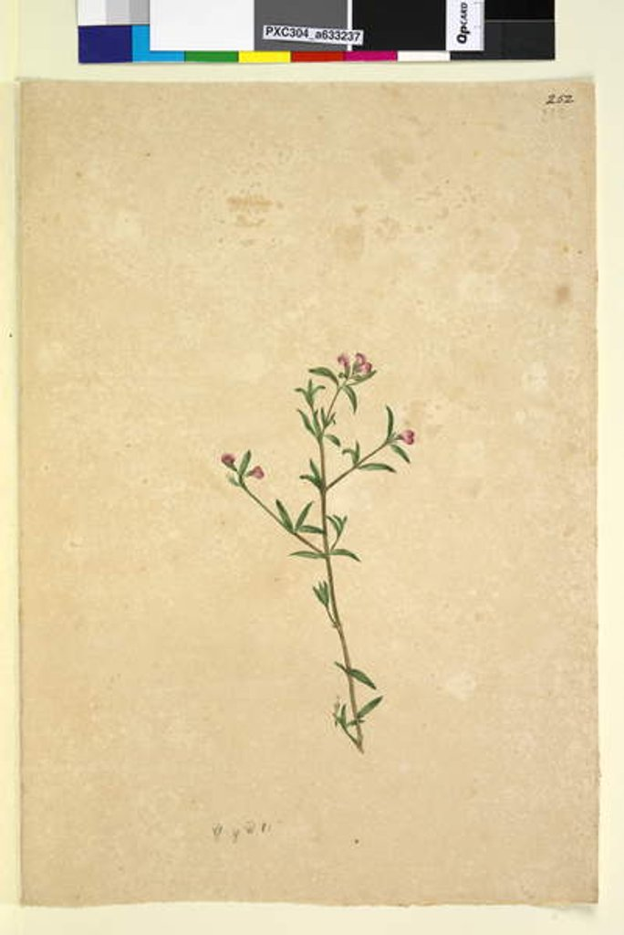 Detail of Page 252. Unidentified plant, c.1803-06 by John William Lewin