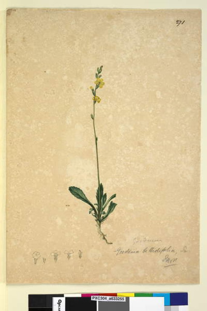 Detail of Page 271. Goodenia bellidifolia, c.1803-06 by John William Lewin