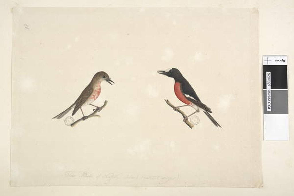 Detail of Page 26. Two birds of Norfolk Island Scarlet Robin, 1791-92 by Unknown artist