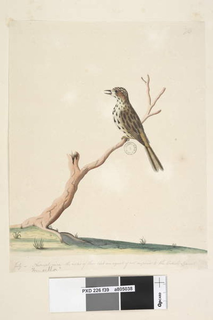 Detail of Page 39. Fringilla. by Unknown artist