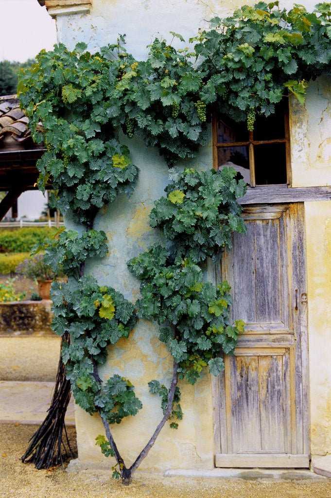 Detail of Grapevines Growing on House by Corbis